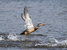 gadwall by 21711