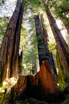 Redwoods10 by DalCais