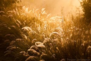 Glowing Foxtails 3 by isotophoto