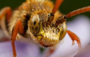 Nomada Bee by Abovelifesize