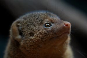 Dwarf Mongoose 3 by robbobert