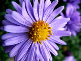 Aster by BeatrixW