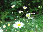 Wild Daisies by oOMommaTOo