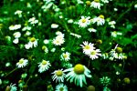 Daisy 3 by StefanaM