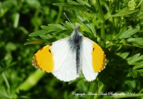 Male Orange Tip. by AdrianDunk