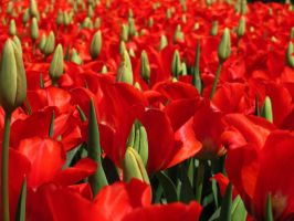 Sea of Tulips by artiseverywhere410