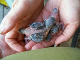 Baby Budgies by MikeHungerford