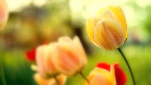 Tulips by housel1984
