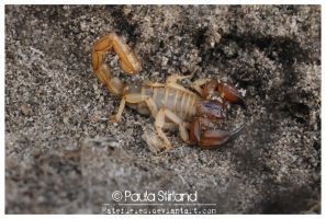 Wild Aussie Scorpion by hatefueled