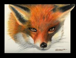 Red fox by Cavale