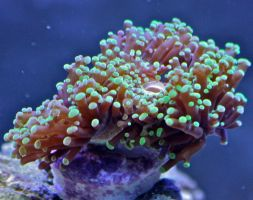 Frogspawn Coral by Sp3nc3r-H1nds