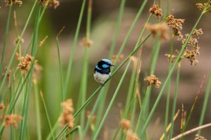 Blue Wren by DanielleMiner