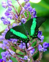 Emerald Swallowtail on Blue Ginger by TheSleepyRabbit