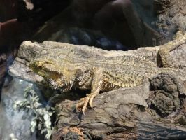 Adelaide Zoo 2014: Bearded Dragon 02 by lizardman22