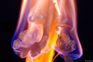 Another flaming flower work! by andyluuuuu