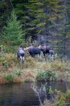 Moose 12 by JohnMeyer
