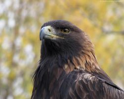 Golden Eagle by caybeach