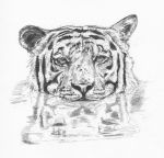 Tiger in Water by Rdhillon