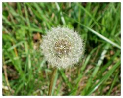 Dandelion by TheMan268
