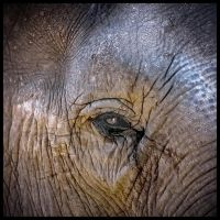 elephant by rosco-the-third
