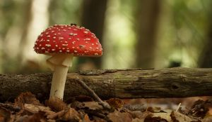 Gorgeous fresh Amanita Muscaria in the Forest by Danimatie