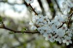 Cherry Blossom by Ciastka