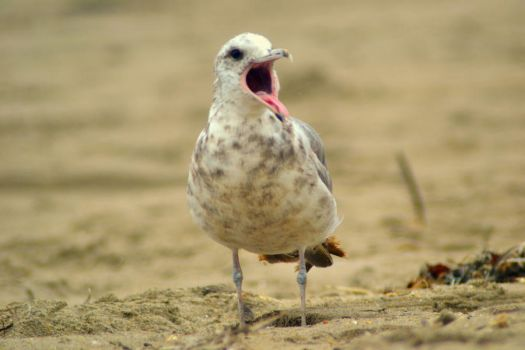 Young Seagull by DuffyGraham