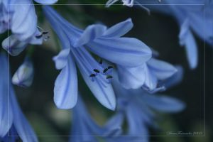 Soft Blue by DianaFernandes