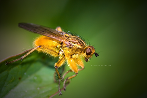 Yellow Fly by DREAMCA7CHER