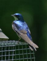 Tree Swallow by desmo100