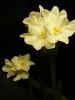Narcissus by SLJones-photo
