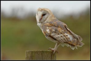 Barn Owl by nitsch