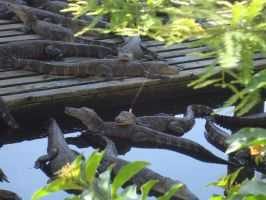 Little gators in the water 2 by cali-cat