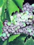 Grapes by IvieMoon