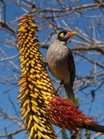 Noisy Miner by focx