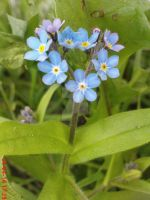 Spring flower : Myosotis (Forget-me-not) by AgnessAngel