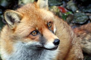 Red Fox 2 by InsaneGelfling