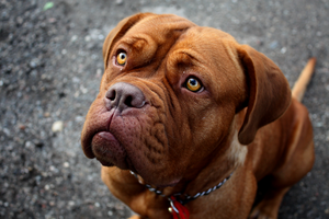 Dogue de Bordeaux by Schoes