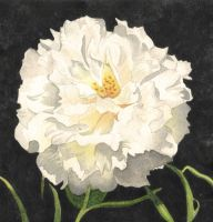 White Moss Rose by aakritiarts
