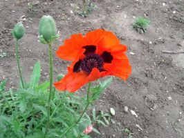 Red/Orange Poppy. (OC) by JHoward393