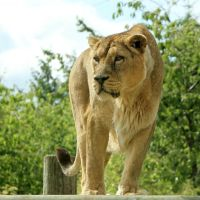 Lion 01 by LydiardWildlife