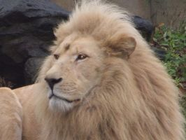 Ouwehands: White Lion 2 by SSJGarfield