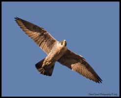 Peregrine Falcon by AirshowDave
