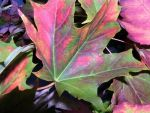 one of our FALL color leaf by Nipntuck3