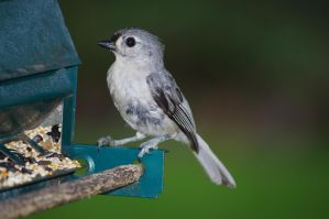Backyard Titmouse by Heath-lover
