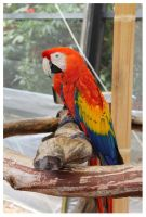 Rainbow Macaw by ashleytheHUNTER