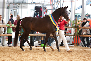 Austrian Warmblood Mare_4 by CalyHoney