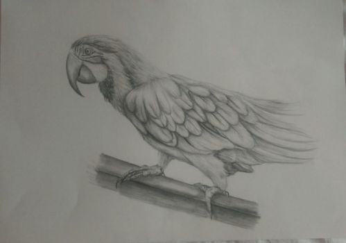 Parrot drawing by Sarahlara23