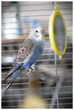 Who is the most beautiful budgie ?? It's me !! by couinette