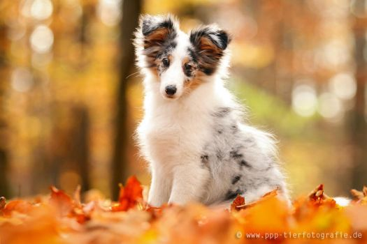 sheltie puppy in autumn forest by Partridge-PetPics